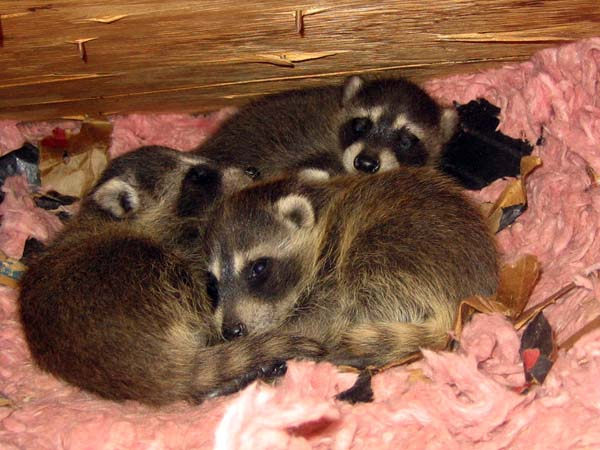raccoons in attic